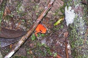 Careful!  Poison Dart Frog