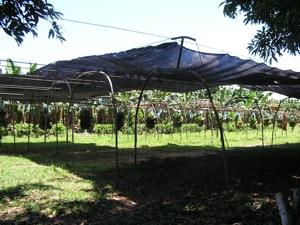 """Chiquita Banana """"Rollercoaster"""" in Changuinola, Panama"""