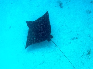 Spotted Eagle Ray Swims Just Beneath Me Snorkeling