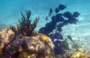 School of Blue Tangs ... somewhere in Belize