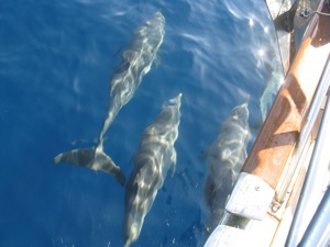 Dolphins Play with the Bow on Passage, No Wind!
