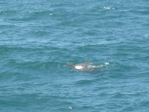 I LOVE Sea Turtles, but they are SO hard to get a photo of while sailing by!