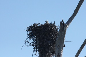 Our American Eagle Friend's Home/Nest