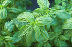 Growing Basil in a Pot Aboard