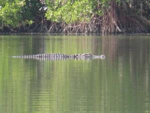 Gator Sunning in Manatee Lagoon