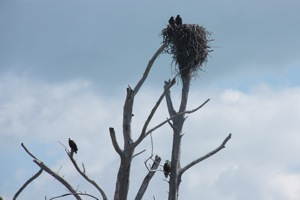 Two Baby American Bald Eagles in the Next as Proud Pop & Momma Look On