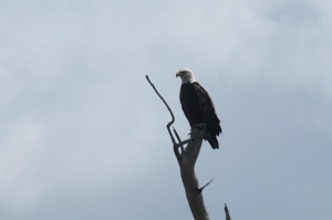 My Bald Eagle Buddy from as close as I could get with a 200mm zoom lens, not a great photo, but definitely a Bald Eagle