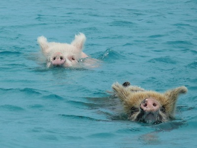 Swimming Pigs, Big Major Spot, Exumas