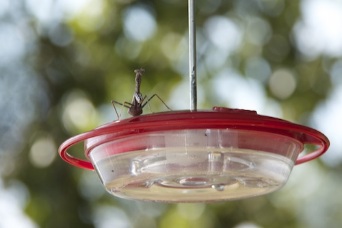 Praying Mantis Invades Feeder
