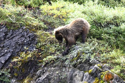 A Grizzly Cub forages for berries close to Mama