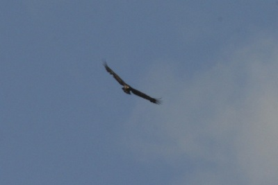 Soaring Golden Eagle -- no bald eagles because there's no food source, no fish in the silted glacier creeks!