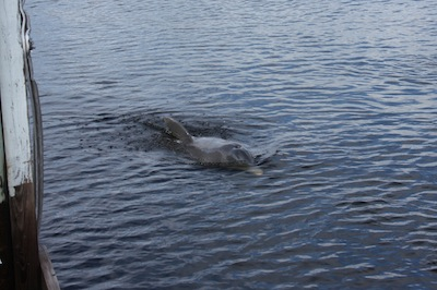 A daylight dolphin begins by swimming calmly around the boat...