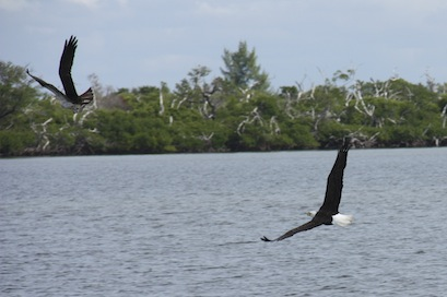 The eagle is hot on the osprey's trail, swooping and diving to harass the osprey into dropping the recently caught fish.