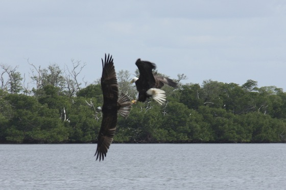 The eagle swoops in loudly harassing the osprey with the fish.
