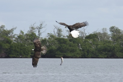 Look closely in the middle of the photo - the osprey has dropped the fish, but the eagle isn't fast enough to swoop and retrieve before the water.
