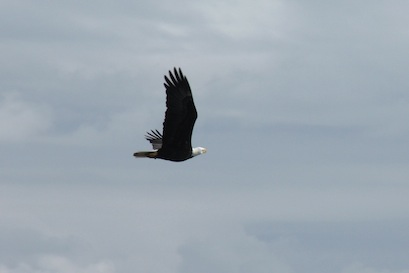 The bald eagle has a solid dark body, distinctive white head and tail, plus yellow bill and legs.