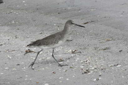 Willets roam the beach, taking to flight with their distinctive black and white underwing stripe and noisy kip-kip-kip alarm whenever we get too close.