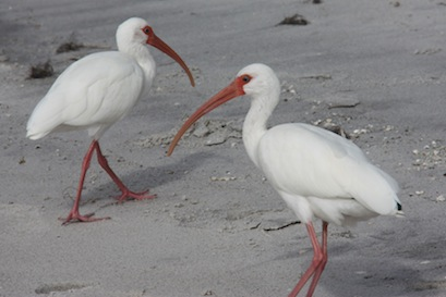 The white ibis also frequent the beach, along with all the seagulls.