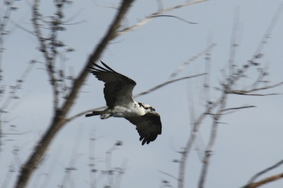 The osprey has a white underside, a