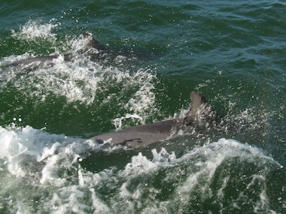 Dolphin accompanied the boat and frolicked alongside after anchoring.