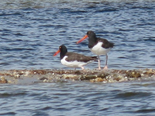 The first time we ID's an American Oystercatcher - their bright red beaks are strong enough to open oysters!