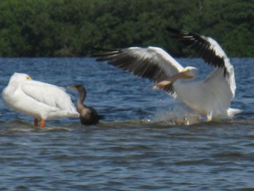 White American Pelican landing on the sandbar.