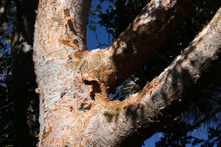Trees with exotic names such as Gumbo Limbo provide fodder for guides from literally every country we cruised.  Known as