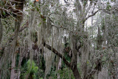 Live oaks filled with moss make for some pretty landscapes.