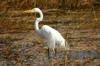 The Great Egrets are in full plume breeding season - the wind was blowing the plumes which were so graceful.