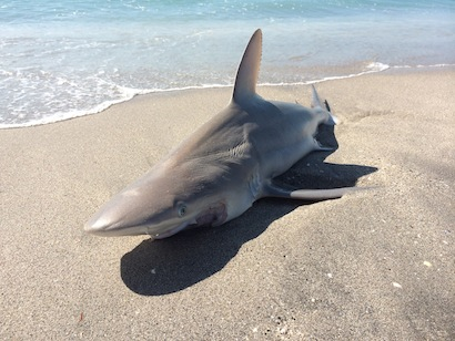 Sandbar shark, on the beach at Blind Pass Beach.