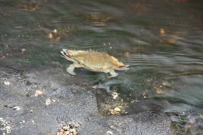 Manatees weren't the only ones enjoying the warm water.  A bunch of blue crabs were playing by the water's edge.