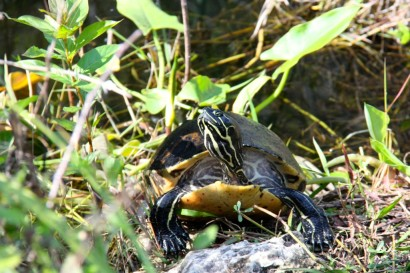 Turtle Sunning at Everglades National Park, Shark Valley.
