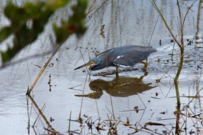 A Tri-Color Heron stalking his prey.