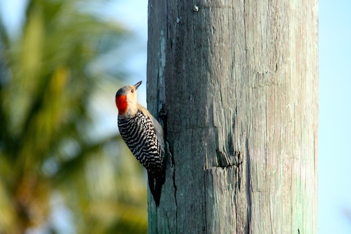 A female red bellied woodpecker searching for insects on the dock piling.