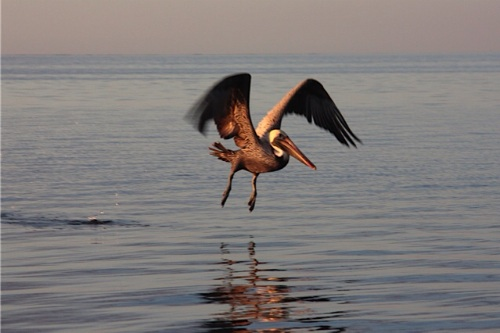 A lone pelican scans the water for his next meal.
