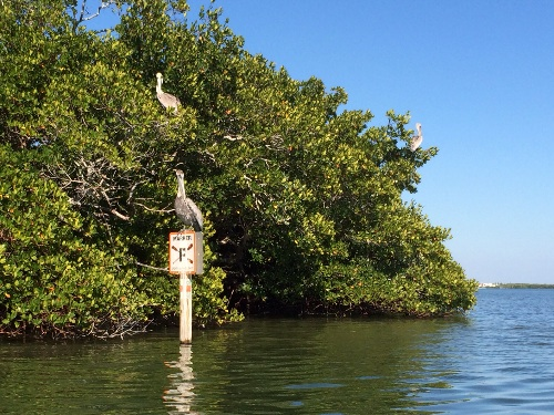 The Great Calusa Blueway at Shallow Cut, entering Tarpon Bay.  The pelicans liked it too.