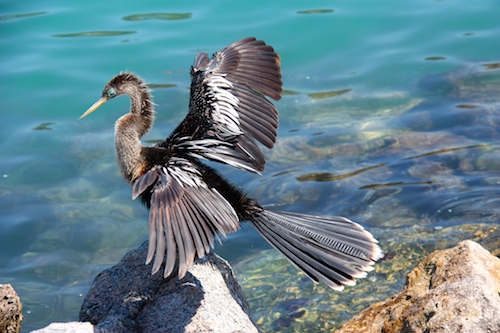 An Anhinga dries it's wings on the Venice Jetty.