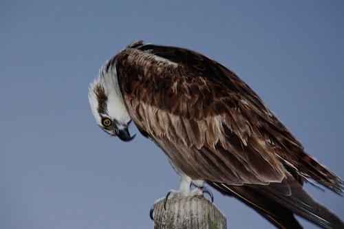 Dang heavy ospreys ... break stuff!