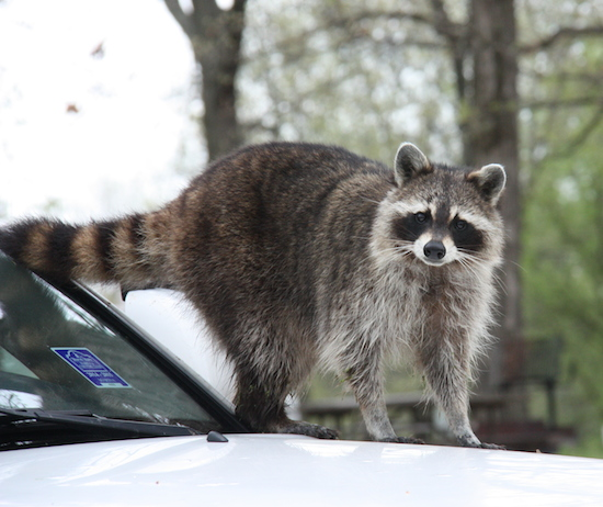 """Our """"Warranty Issue"""" - Mr Raccoon ... invader."""
