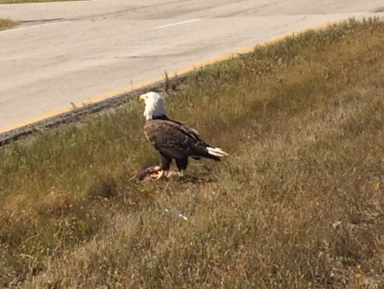 Even though he attracted a crowd ... and a rival eagle ... this bald eagle calmly munched his breakfast.