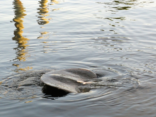 Manatees are not very photogenic, but every now and then, we get lucky.