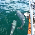 More dolphins sailing south .... several pods of several dolphins played with us several time.  Amazing.  I love dolphins!