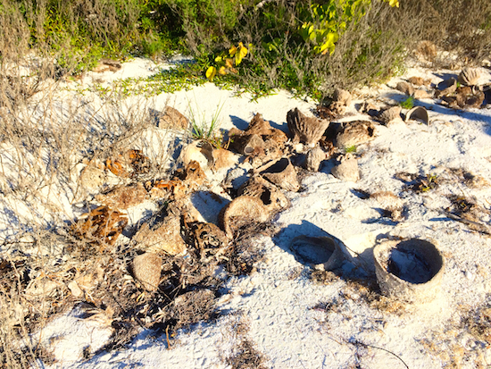 Barrel sponges washed up on the beach