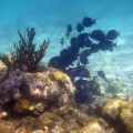 Underwater photo of a school of blue tangs.  My photo yesterday would have been the same, but alas, no photos. Darn IPhone!