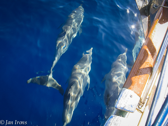 Dolphins in our bow wake.
