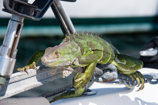 Did I mention iguanas in the marina? This one on our neighbor's bow.