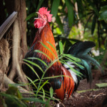 Awake to another glorious day in Key West ... roosters in residence!