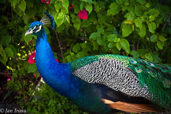 Doesn't every island have peacocks roaming freely?